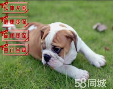 直销纯种极品法国 英国斗牛犬 保健康保纯种 签售