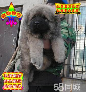 澳门金沙官网高品质赛级直系一熊版高加索幼犬购买签协议保健康