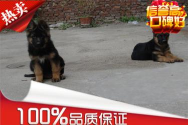 德国牧羊犬-犬舍直销-包纯种健康-证件齐全