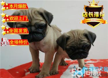 出售純種巴哥幼犬狗狗品相好健康保證 質量保證