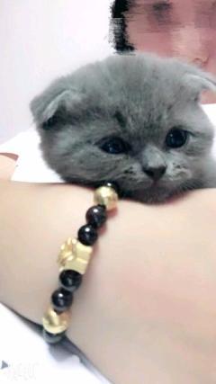 自己家养的蓝猫