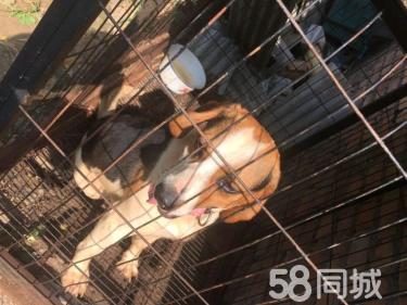 24个月的比格犬1500元(公)
