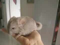 2个月龙猫宝宝超级可爱深咖色