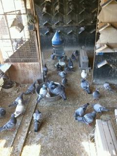 自己养殖,好鸽子出售
