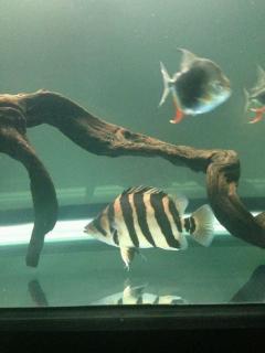 鱼友减密度出虎鱼