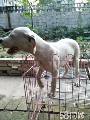 3个月杜高幼犬价格不高