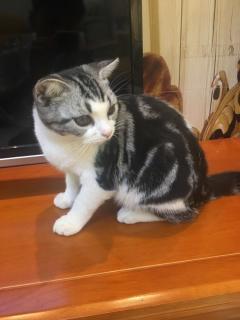 寵物貓純種活體美短虎斑貓加白高白起司貓咪家養美國短毛貓
