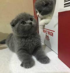 出售英短渐层蓝猫蓝白短毛猫健康包售后上门挑选