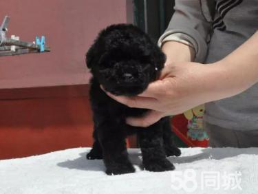 出售純種玩具迷你茶杯泰迪熊幼犬--包純種健康