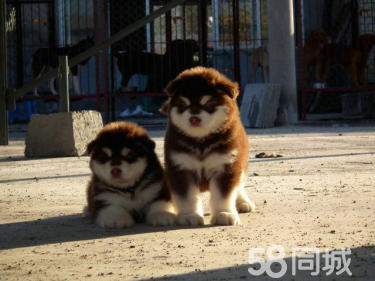 出售純種巨型阿拉斯加雪橇犬賽級犬后代包純種健康簽協