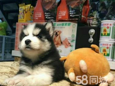 三把火 双蓝眼 白套袖 体态完美哈士奇幼犬