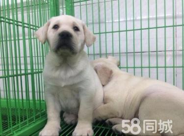 神犬小七拉布拉多出售,可视频,可送货