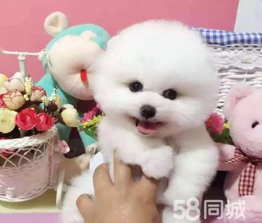 博美俊介幼犬―��N健康、��活�w�f�h、可�狗�父母