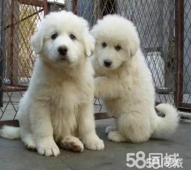 2个月的大白熊1000元(公母均有)