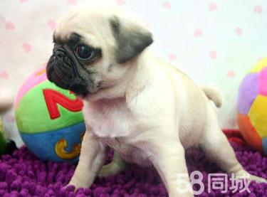 巴哥幼犬出售纯种家养巴哥质量保证欢迎上门挑选