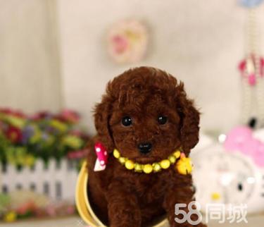 茶杯玩具泰迪熊犬保障纯种健康 价格合理 欢迎选购
