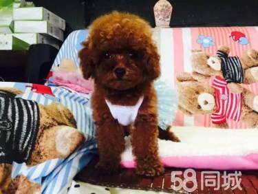 茶杯泰迪犬-玩具泰迪犬--种公外配--支持送货