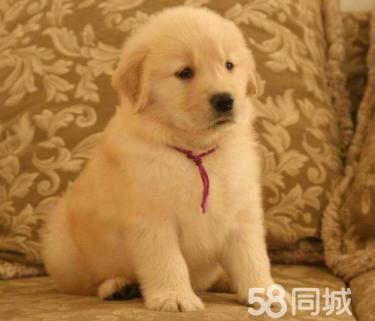金沙官方平台纯种大头金毛幼犬 健康有保障 可签购犬协议