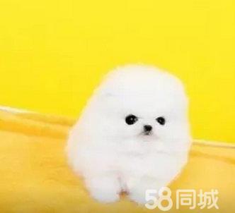 3個月的博美犬1000元(公母均有)