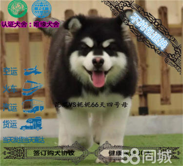 出售大骨量巨型熊版阿拉斯加幼犬、带证书、包纯种