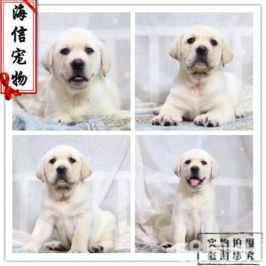 出售純種的聰明的拉布拉多幼犬品相好 包純種健康
