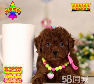 纯种韩系泰迪熊 茶杯、玩具 可爱?#33391;?购买可签