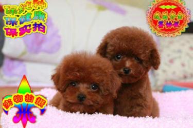 韩系泰迪犬 超小体玩具泰迪 品质保终身 可签协议