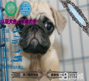 金沙官方平台纯种巴哥幼犬品相好 健康保证质量保证纯正