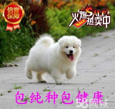 出售微笑天使萨摩耶犬一包养活一签协议