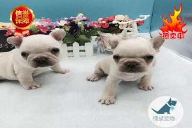法牛犬舍专业繁殖超短体法牛丨小方体法斗幼犬
