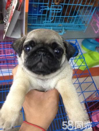出售纯种巴哥宝宝品相好价格合理包健康可上门看狗