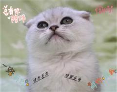 高品质英短银渐层猫咪折耳猫银渐层