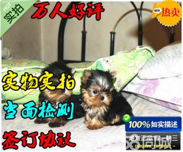 出售纯种可爱的小体型约克夏宝宝 2个多月 包健康