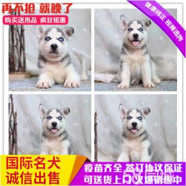 纯种蓝宝石眼睛三把火、西伯利亚幼犬、签协议质