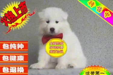 精品纯种萨摩耶犬【高端品质超好品相超实惠】常年销售