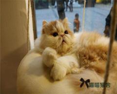 CFA猫舍自家繁育双血统异国短毛加菲猫ddmm