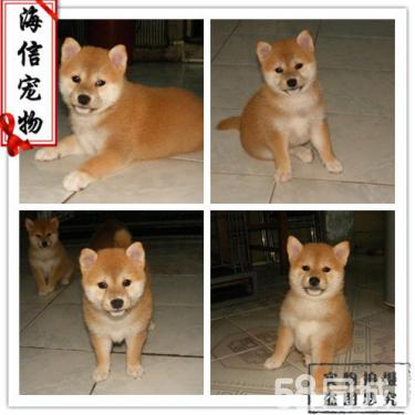 专业养殖纯种日本小柴犬幼犬 聪明可爱 宠物狗活体