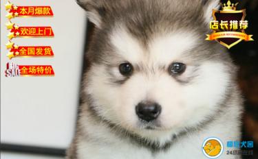 出售純種阿拉斯加幼犬 賽級品質 健康質保