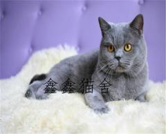 包子脸大头蓝猫幼猫出售疫苗驱虫齐全