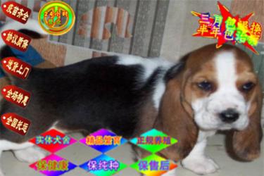 純種健康巴吉度獵犬 包純種保健康 簽訂售犬協議