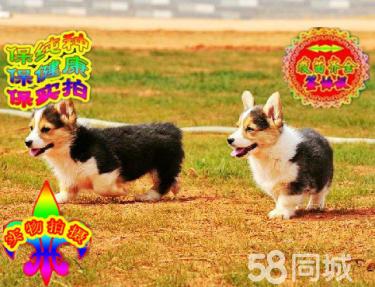 纯种三色双色柯基犬、超级可爱、健康质量保障签订协议