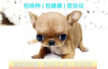 茶杯犬,墨西哥吉娃娃,�O果�^,包�B活 免�M送上�T