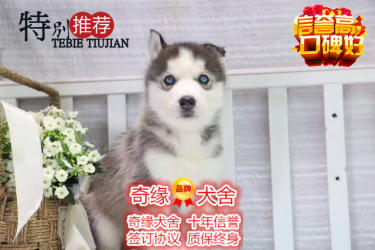 本地正规犬场一出售三火蓝眼哈士奇犬?#35805;?#20859;活一签协议