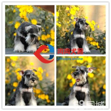 CKU犬舍:國內頂級雪納瑞繁殖場、帶證包活