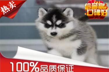 【精品哈士奇-犬舍繁殖】健康百分百【品種多】送用品