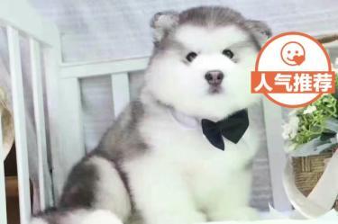 十字脸巨型阿拉斯加幼犬熊版灰桃雪橇犬【协议质保】