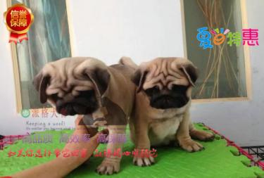 出售纯种巴哥幼犬品相好 健康保证质量保证纯正