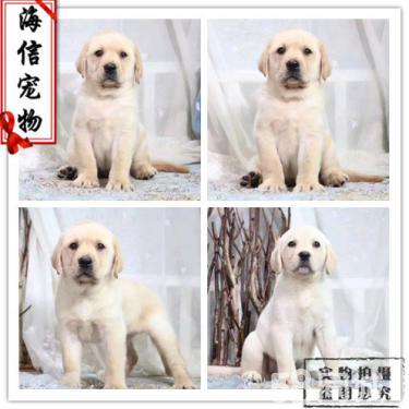 拉布拉多幼犬神犬小七一样忠诚 很厉害的导盲犬