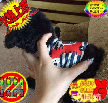超可爱的小体玩具泰迪熊宝宝出售中保证健?#24403;?#35777;纯种
