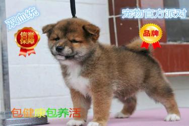 高品质柴犬萌宠 犬舍直销 保纯种健康 欢迎挑选